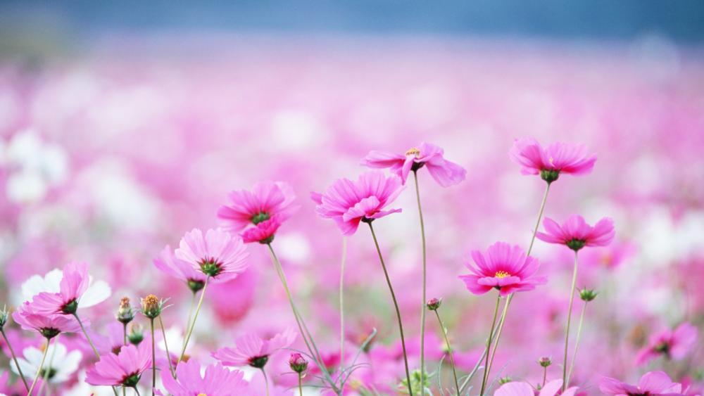Pink wildflowers wallpaper