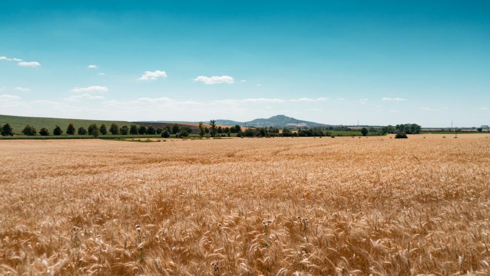 Wheatfields wallpaper