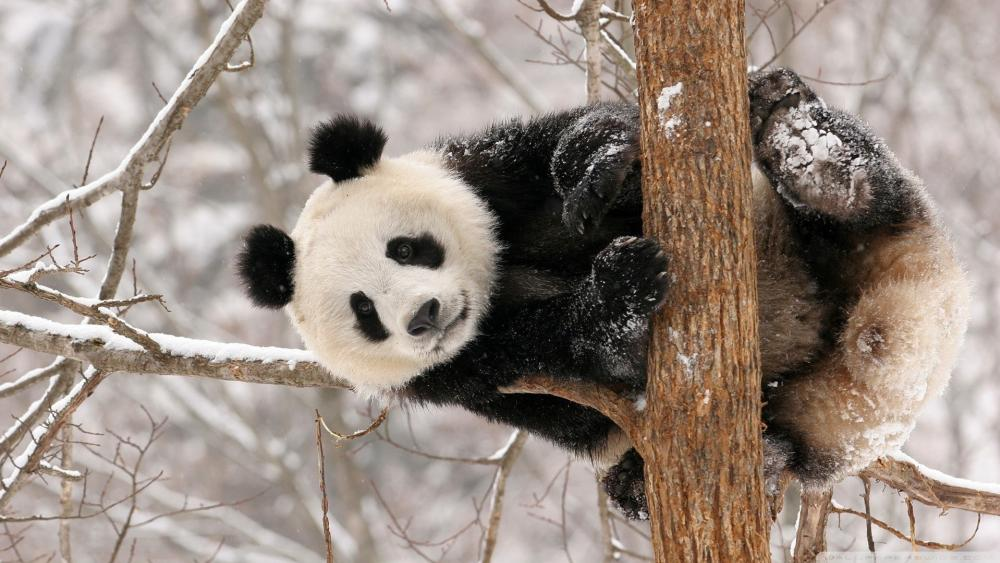 Snowy Panda on a tree wallpaper