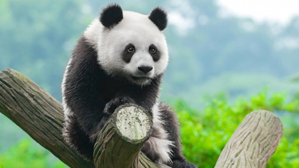 Panda on a tree trunk wallpaper
