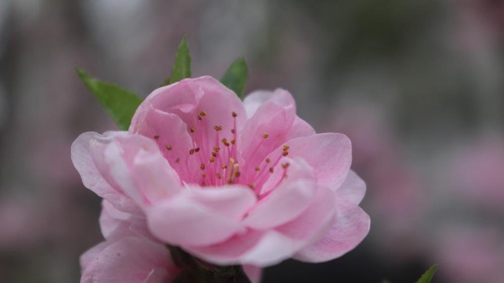 March peach blossom wallpaper