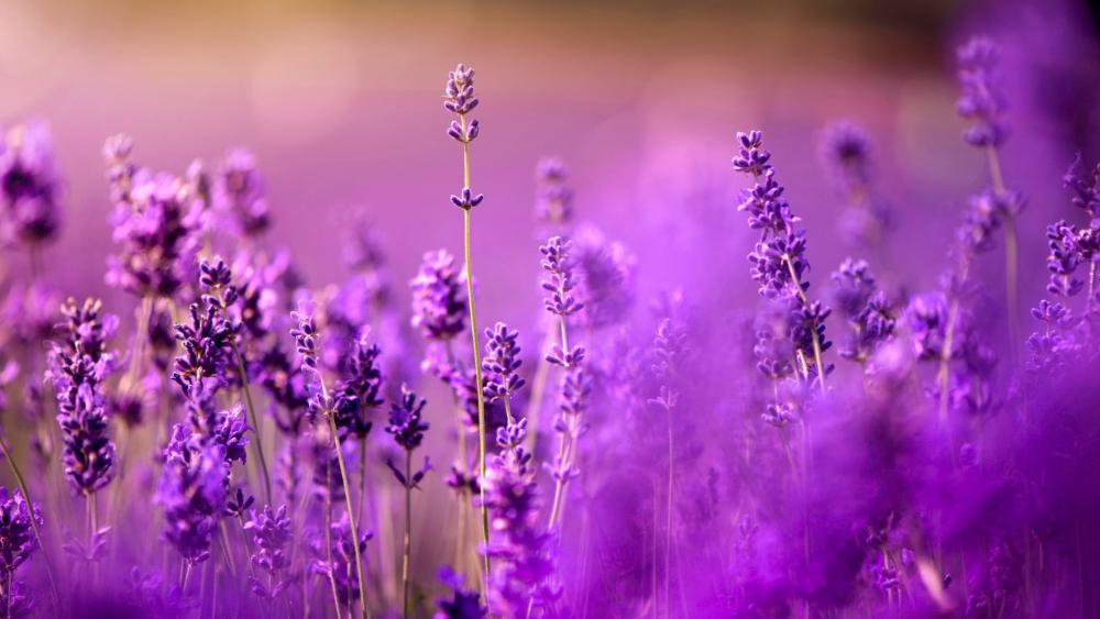 Purple lavender wallpaper