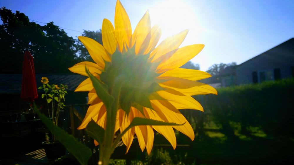 Sunflower wallpaper