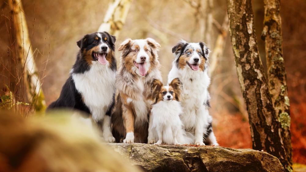 Australian Shepherd dogs in a forest wallpaper
