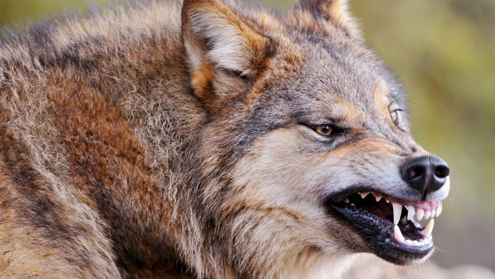 Anger wolf wallpaper