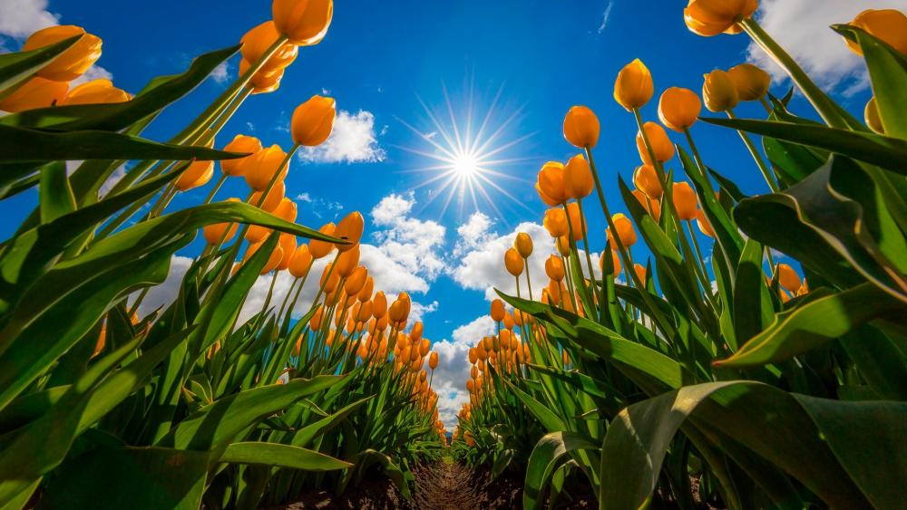 Yellow tulip field wallpaper