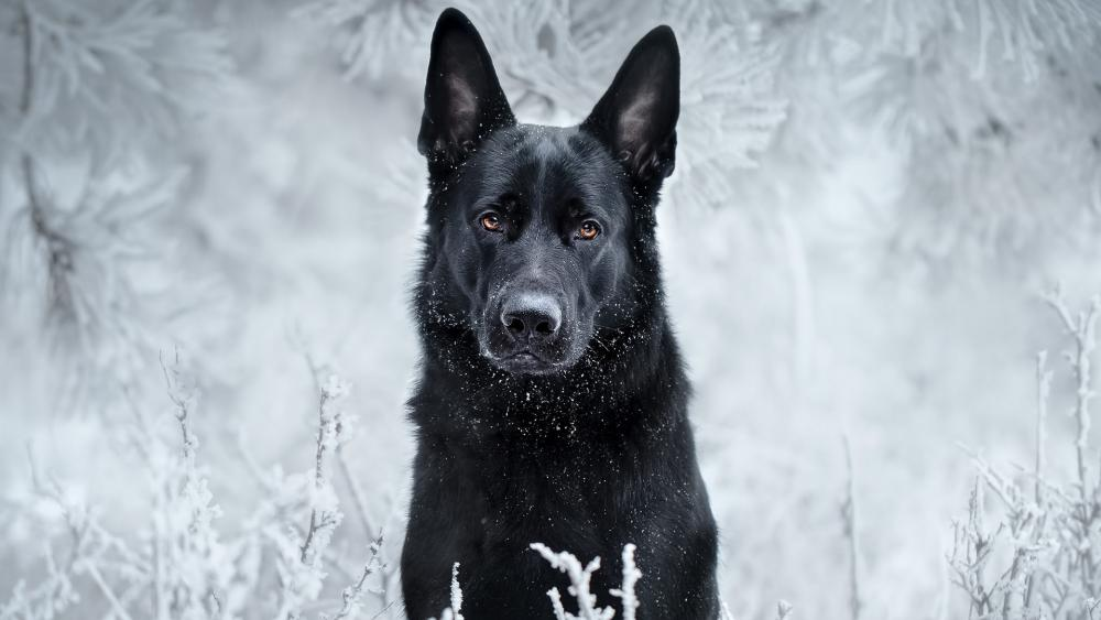 Black German Shepherd in the hoary white nature wallpaper