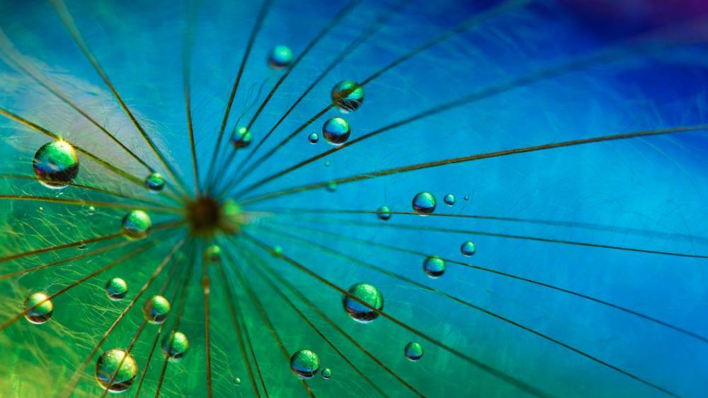 Dewdrops on a dandelion fluff macro photography wallpaper