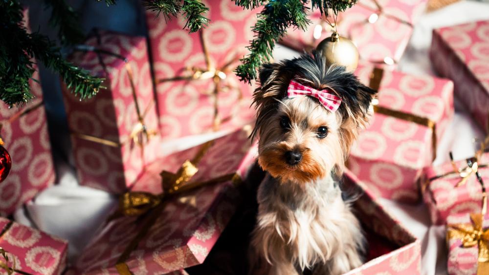 Yorkshire Terrier for Christmas wallpaper