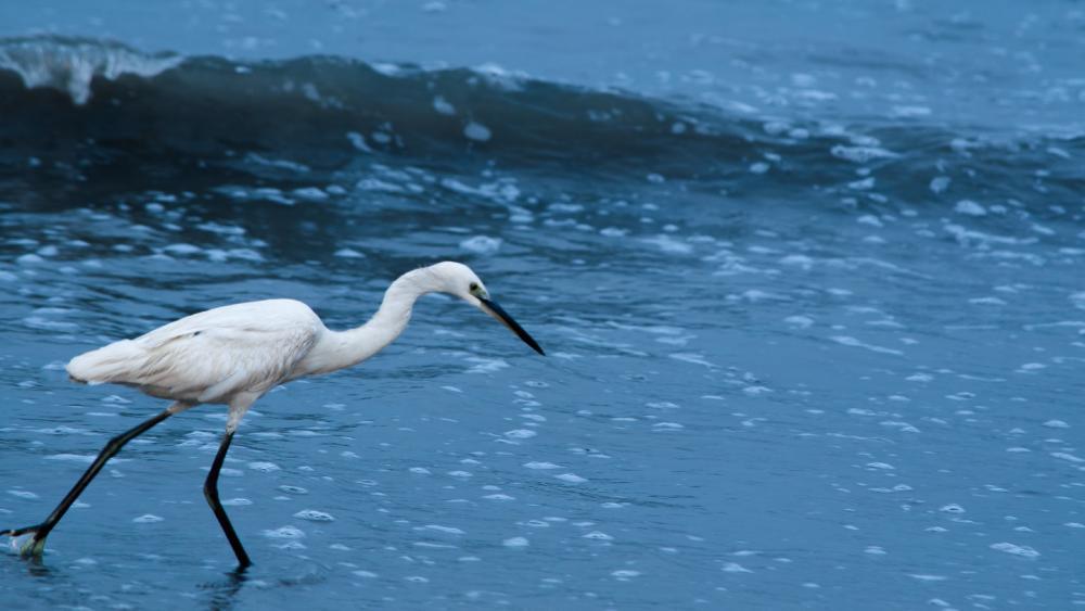 Little Egret wallpaper