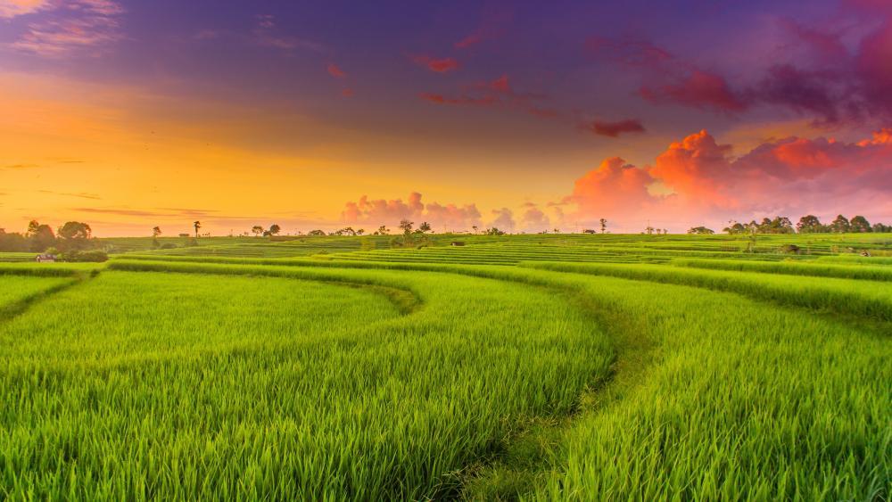 Green paddy field landscape wallpaper
