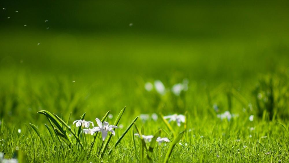 White flowers in the green grass wallpaper