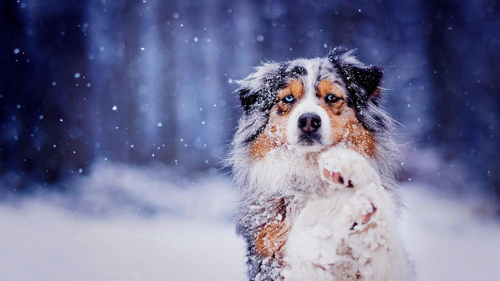 Snowy Australian Shepherd dog wallpaper