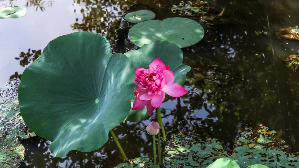 Blooming Red Lotus wallpaper