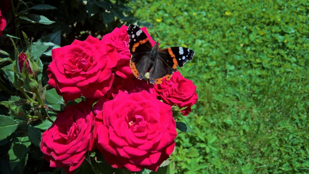 Butterfly on the red roses 🦋 wallpaper