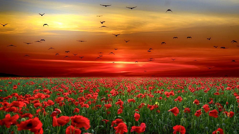 Birds in flight on a field of poppies at sunset wallpaper
