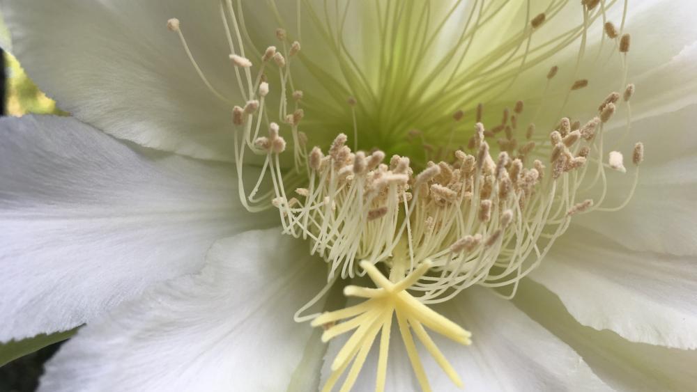 Cactus flower wallpaper