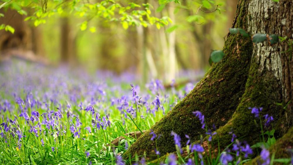 English Bluebell Woodland wallpaper