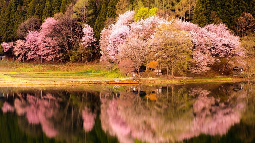 Sakura reflection wallpaper