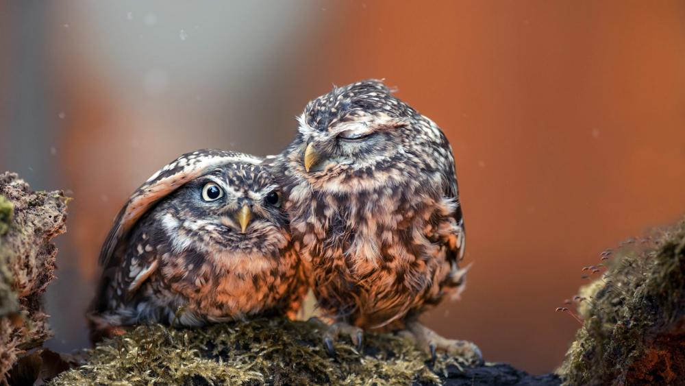 Little owl under his Mom's wing. wallpaper