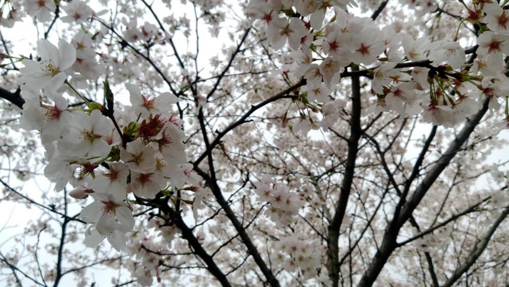 Wuhan University Cherry Blossom wallpaper