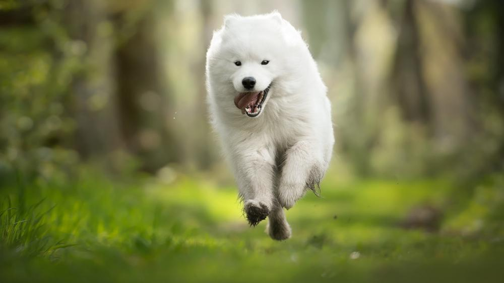 Running Samoyed dog wallpaper