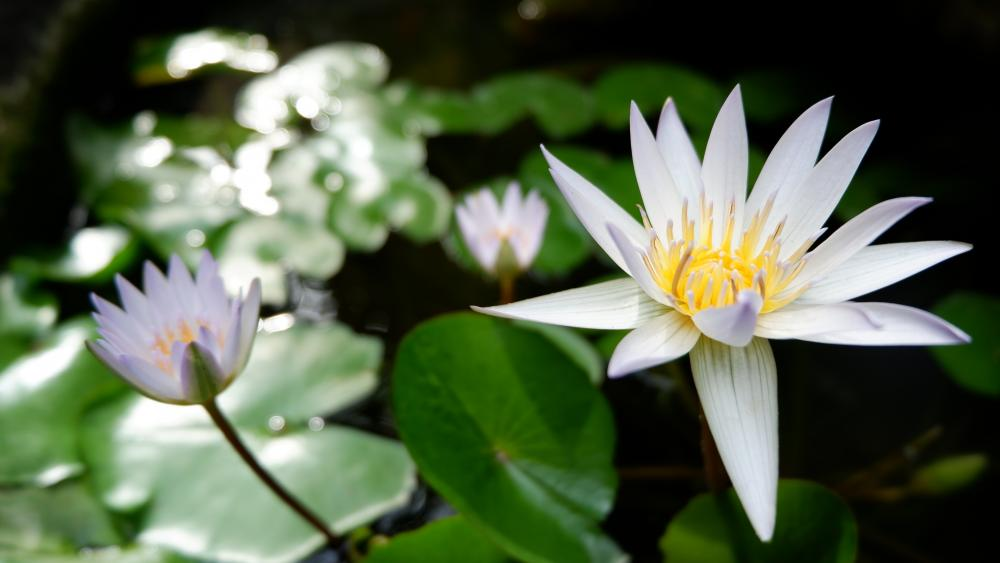 Pond Lily wallpaper