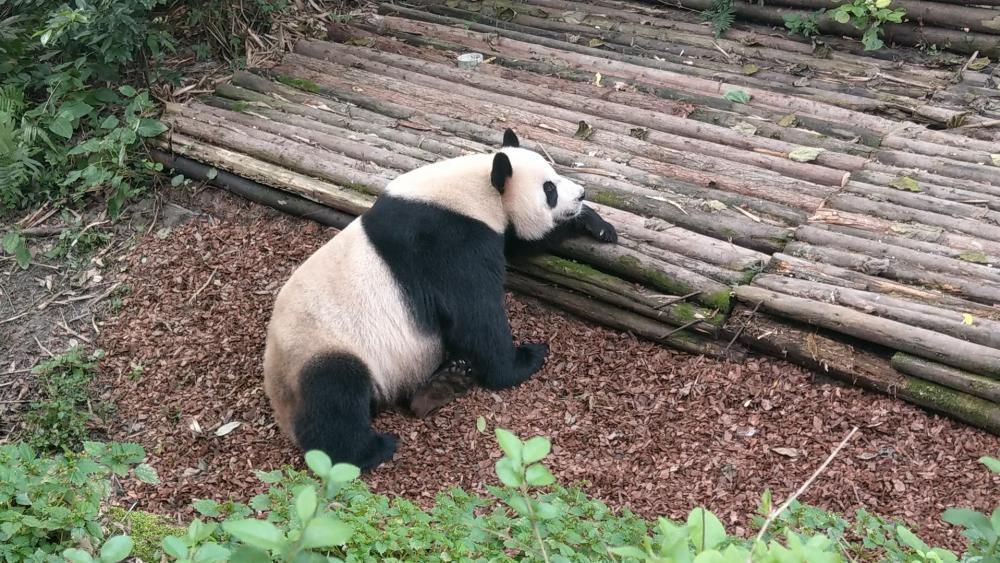 Sichuan Chengdu Giant Panda Base wallpaper