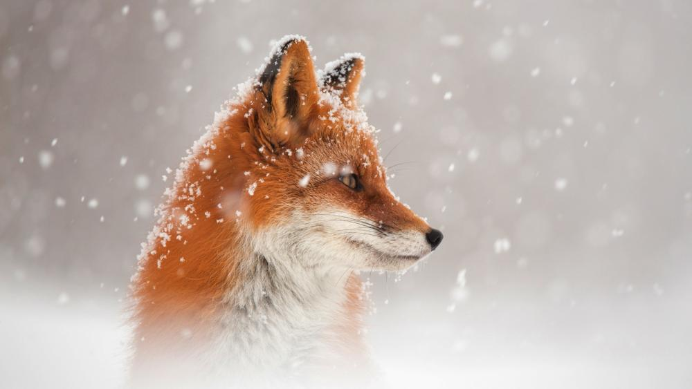 Red fox in the snowfall wallpaper