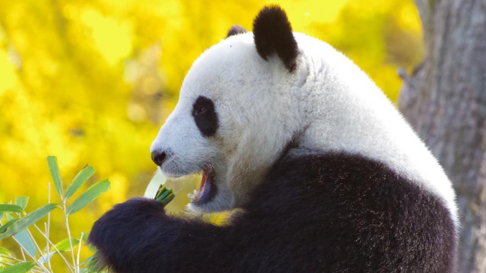Panda bear eats wallpaper