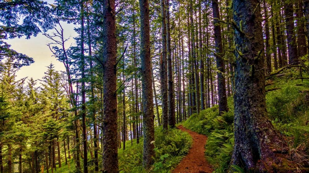 Pacific Northwest forest trail wallpaper