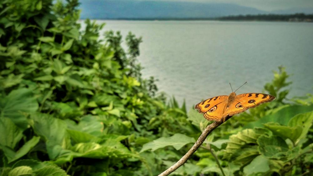Butterfly on the river coast wallpaper