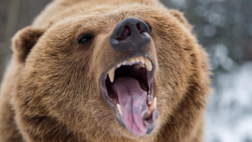 Angry Grizzly bear wallpaper