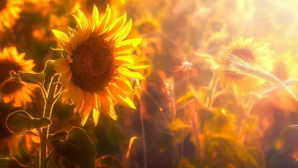 Sunflower in the sunlight wallpaper
