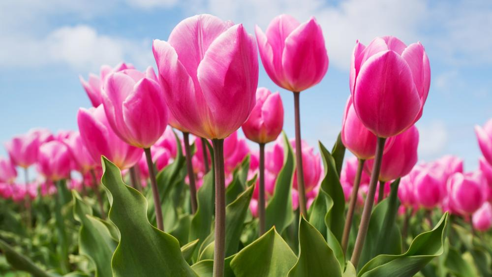 Blooming pink tulips wallpaper