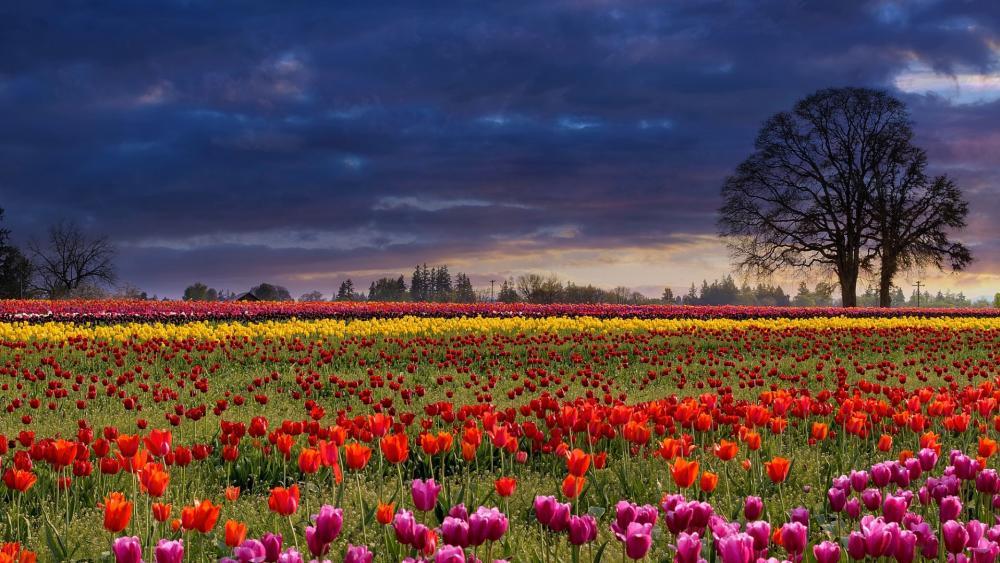 Cloudy tulip field wallpaper