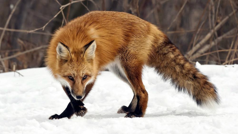 Hunting fox wallpaper