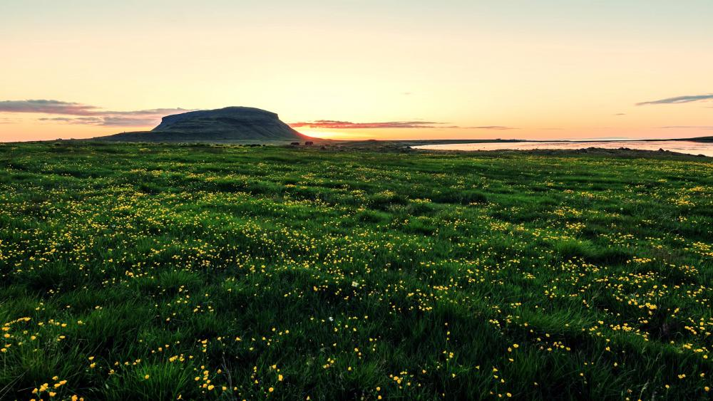 Spring field in Iceland wallpaper