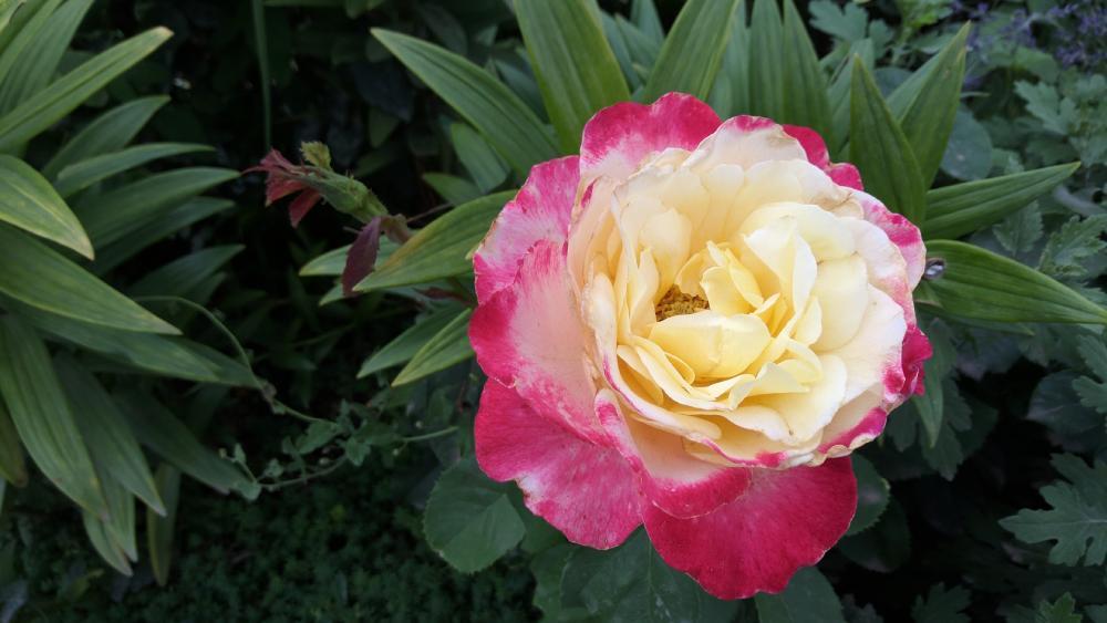 Gradient rose wallpaper