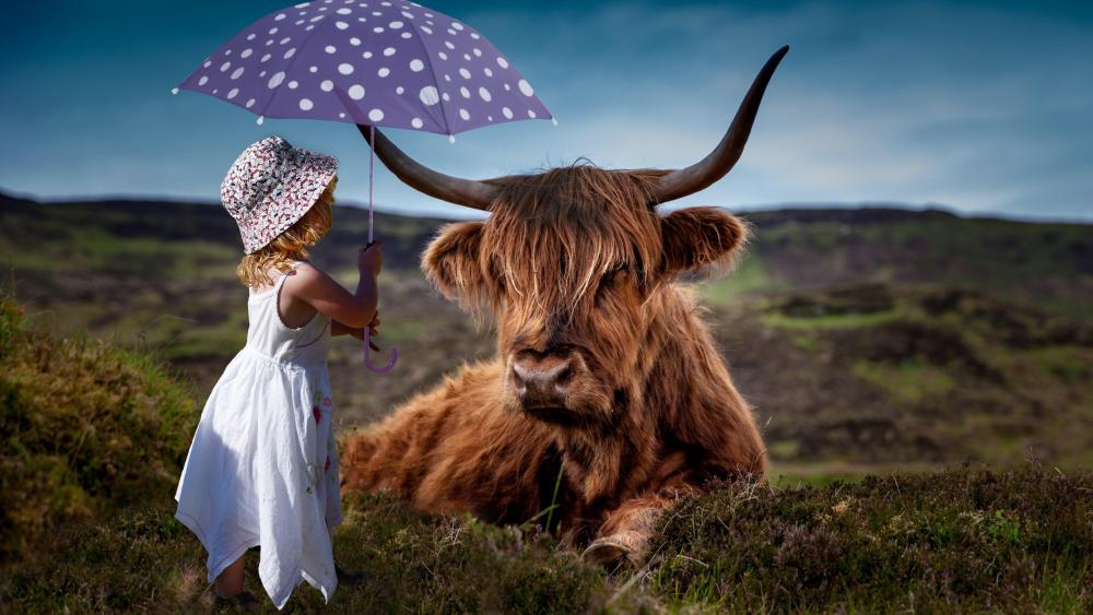 Highland cattle with a little girl wallpaper