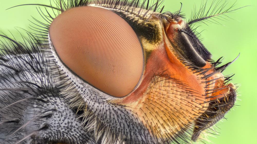 Housefly macro photo wallpaper