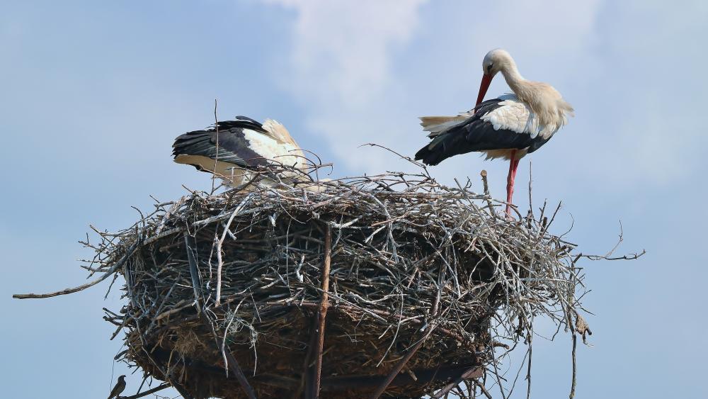 Stork nest wallpaper