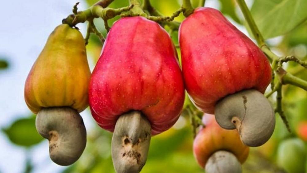 Cashew tree wallpaper