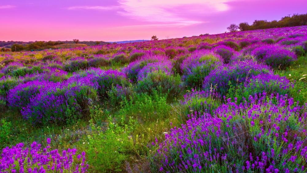 Lavender hillside wallpaper