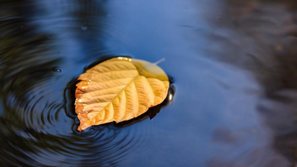 Fallen leaf is floating on the water wallpaper