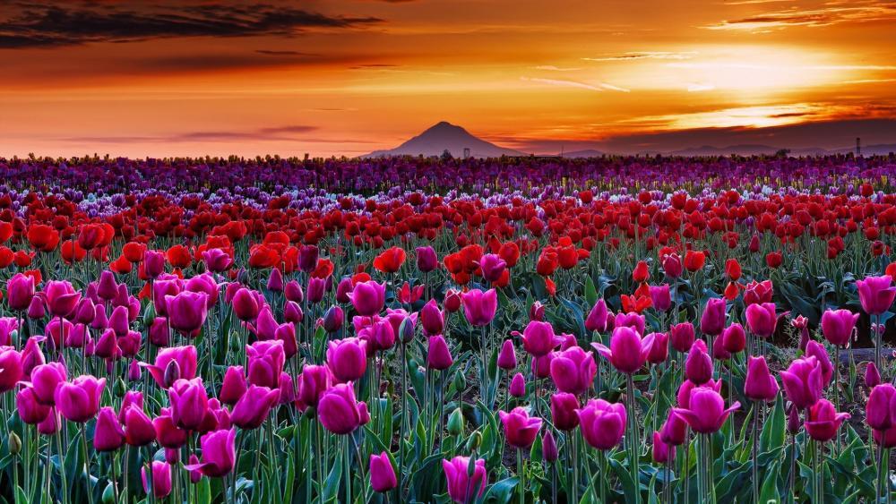 Tulip field at sunset wallpaper