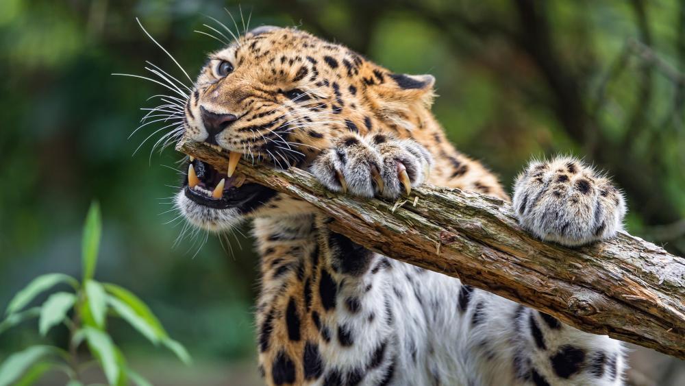 Leopard biting a branch wallpaper