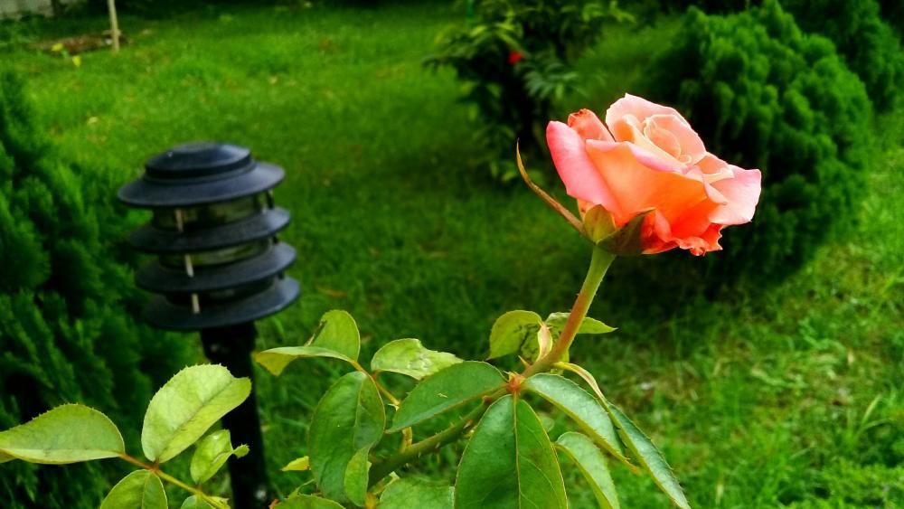 Hybrid tea rose wallpaper