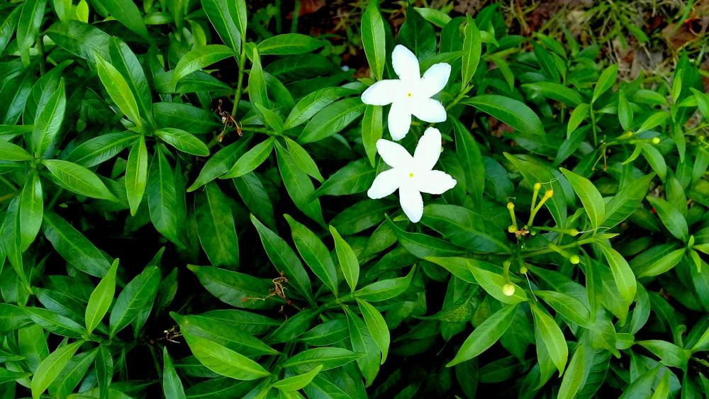Crepe jasmine wallpaper