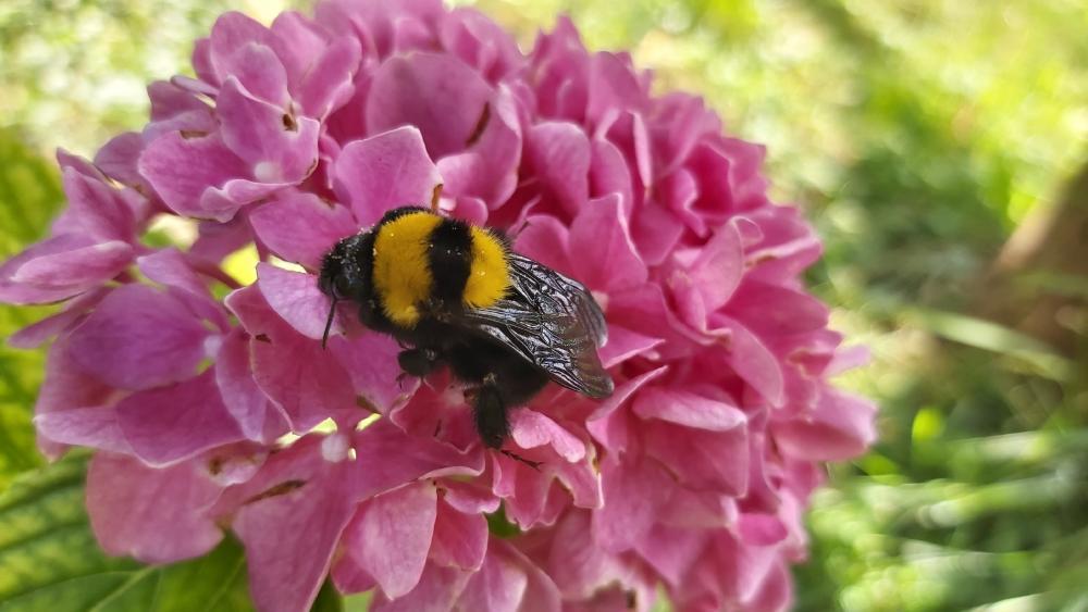 Bee on a hydrangea flower wallpaper